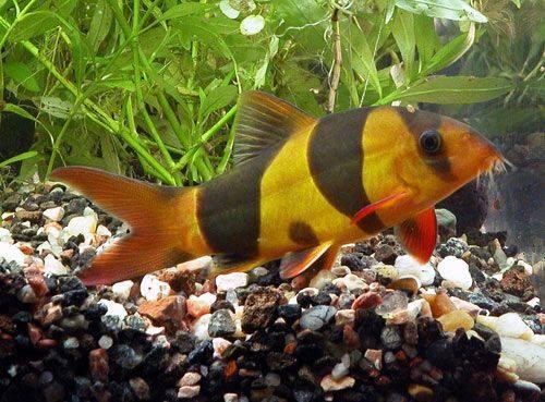 Makrakanta Balığı