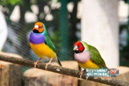 Gökkuşağı İspinozu – Golden Finch