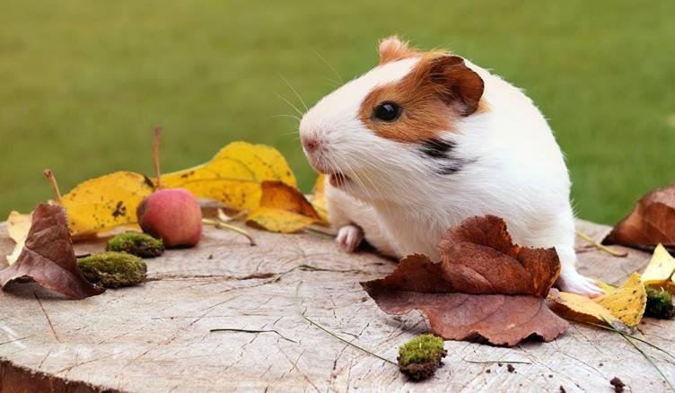 Hamsterların Özellikleri ve Beslenme Şekilleri