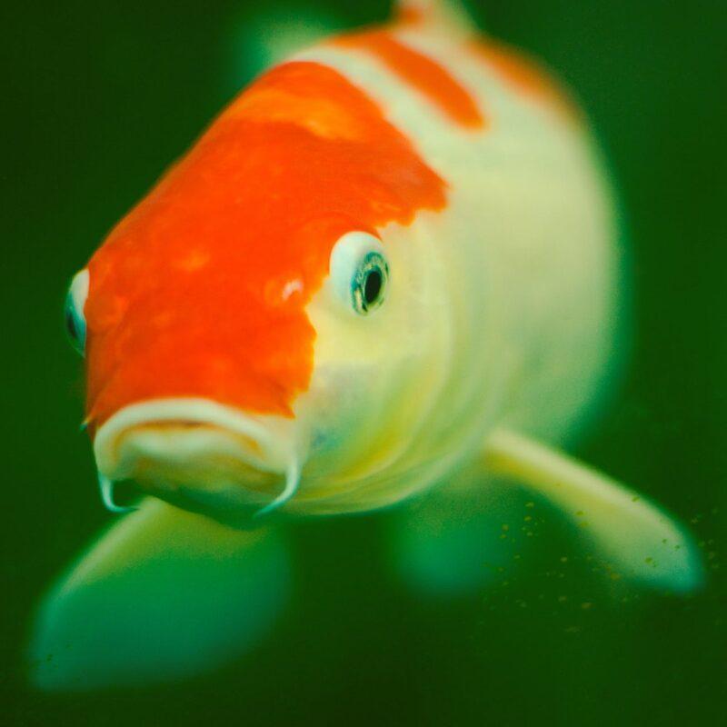Koi Balığı