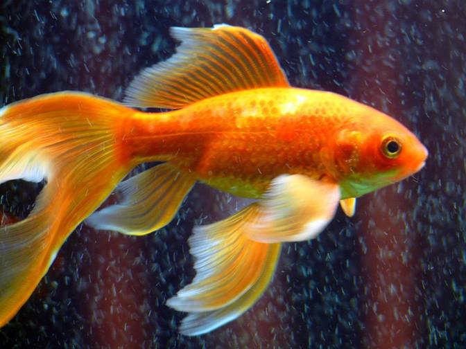 Peçeli Kuyruk (tül kuyruk) Japon Balığı