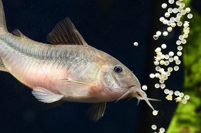 Çöpçü Balığı ve Özellikleri