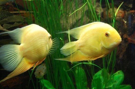 Ciklet Balığı (Cichlid) Türleri ve Özellikleri