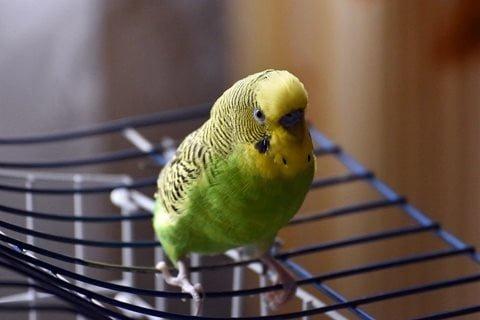 Muhabbet Kuşu Yalnızlıktan Ölür Mü?