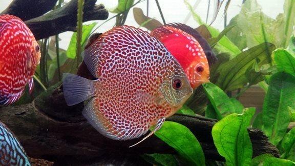 Discus Akvaryum Balığı Bakımı ve Özellikleri
