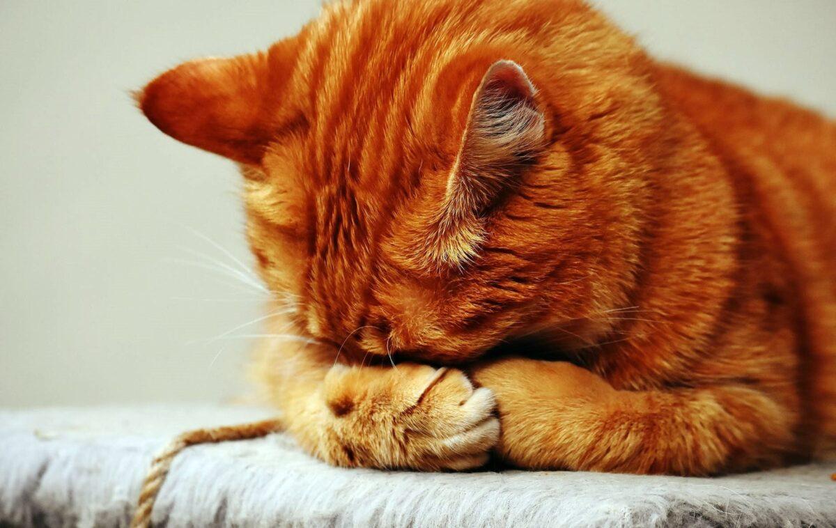 Kedilerde kusma sorunu ve tedavisi