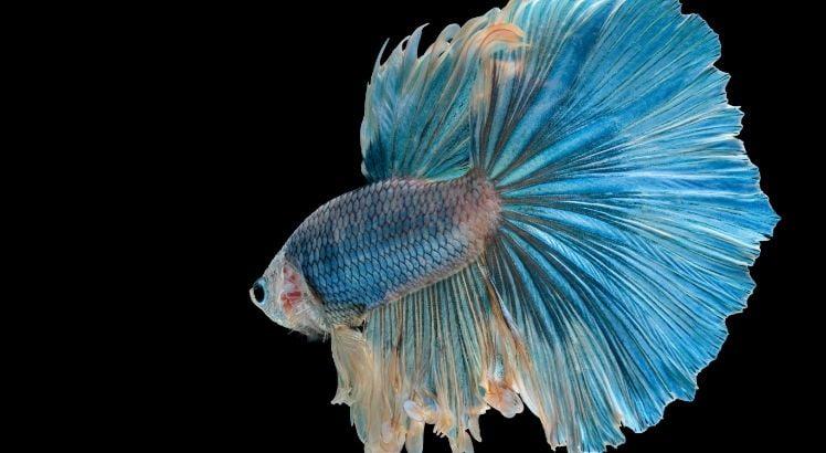Betta Balığı Bakımı ve Özellikleri