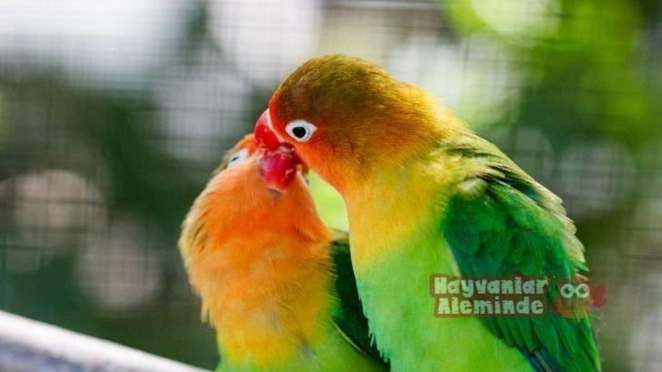 Cennet Papağanı (Sevda Papağanı) Özellikleri ve Bakımı