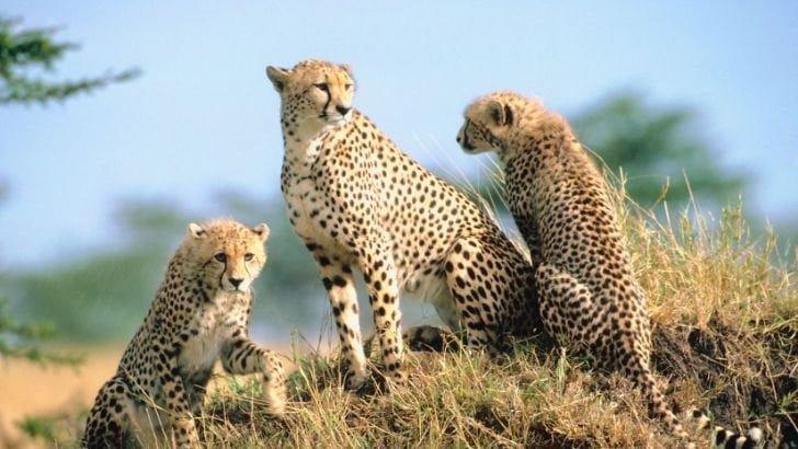 Dünyanın En Hızlı Kara Hayvanı Çita