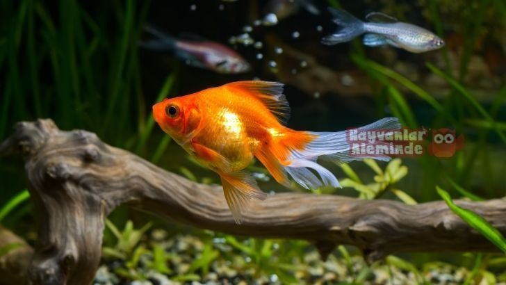 Japon Balıkları Hakkında Doğru Bilinen Yanlışlar