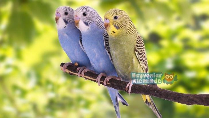 Muhabbet kuşu nasıl konuşturulur?