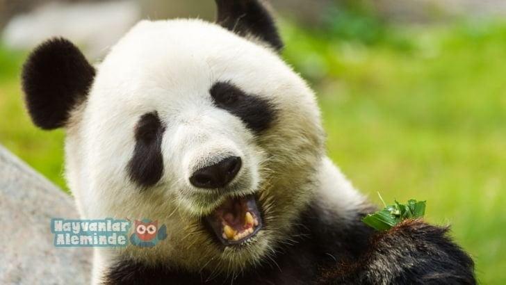 Pandalar ne yer, nerede yaşar?
