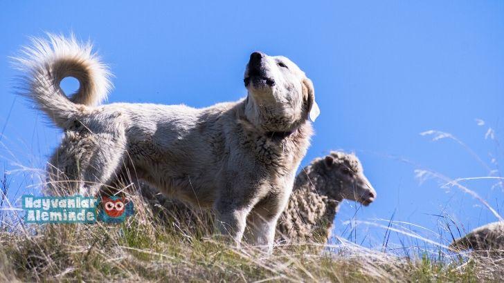 akbaş köpeği