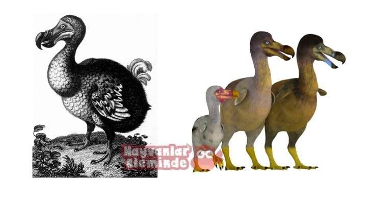 dodo kuşu fotoğrafları