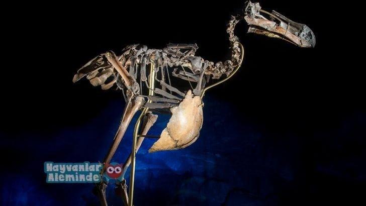 Dodo kuşu kalıntıları