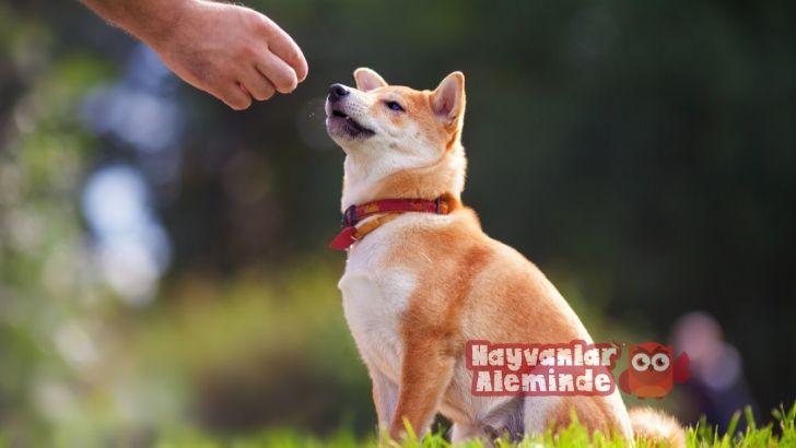 köpeklerde itaat eğitimi