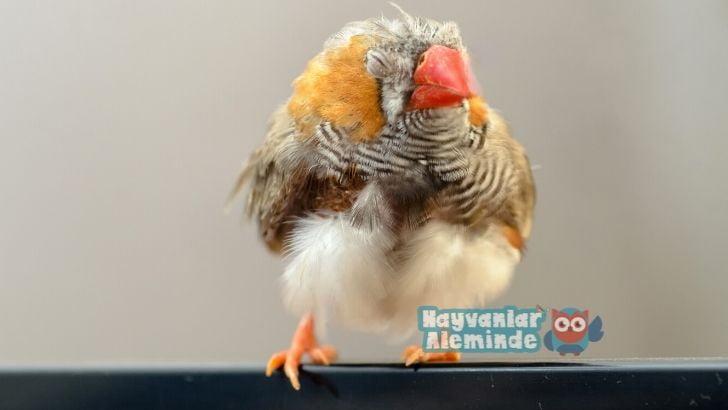 Kuşlarda Halsizlik Problemi Nedenleri ve Çözümü