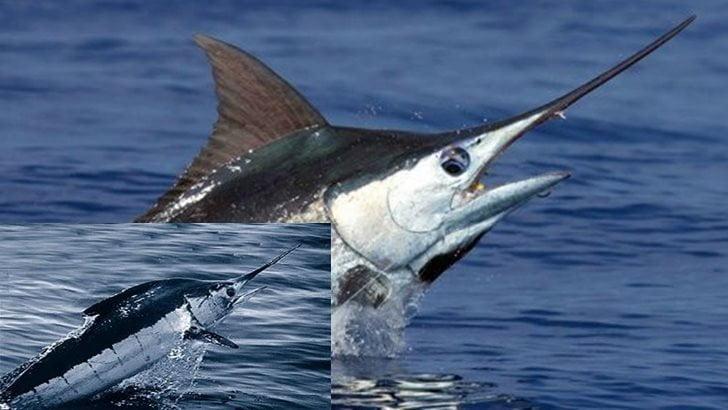 Dünyanın En Hızlı Balığı: Merlin