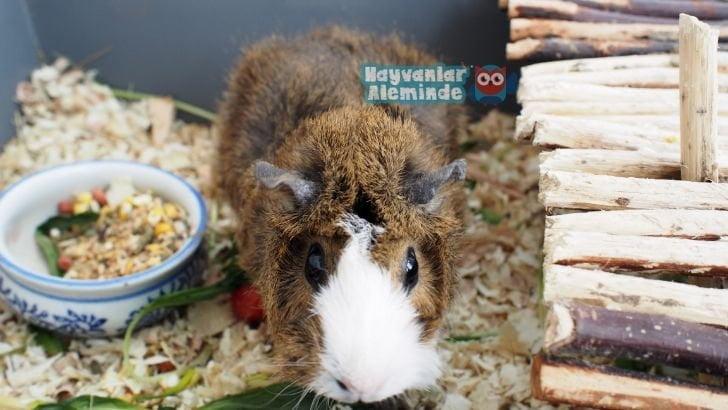 Guinea Pig türleri