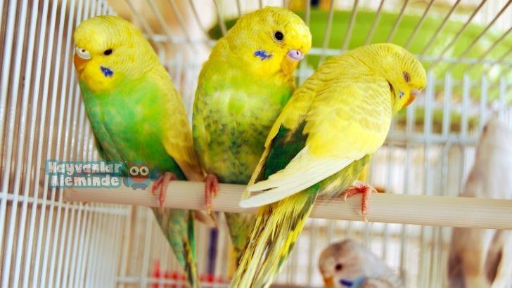 Muhabbet kuşları hangi isimleri kolay söyler