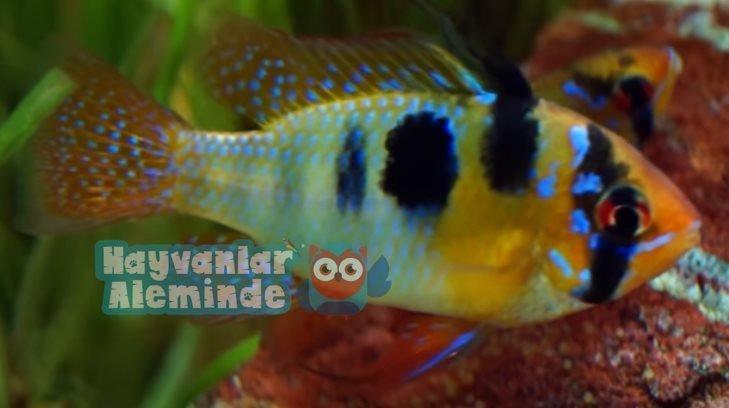 Ramirezi Balığı Bakımı ve Cinsiyet Ayrımı