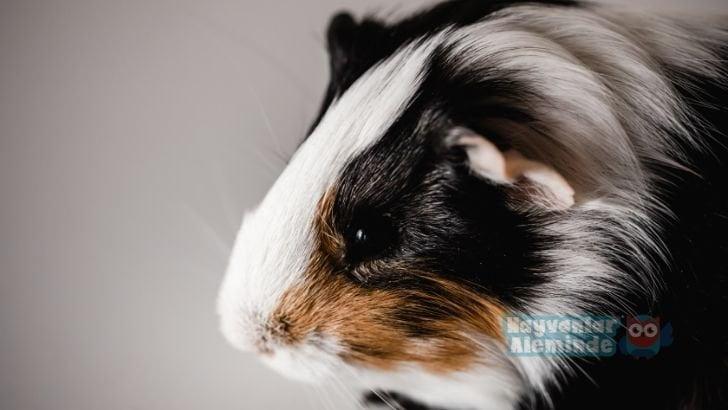 Amerikan Guinea Pig