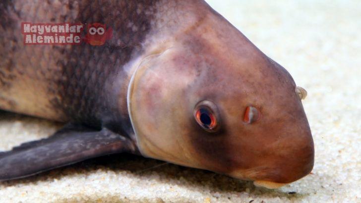 Çin ejderi balığı bakımı