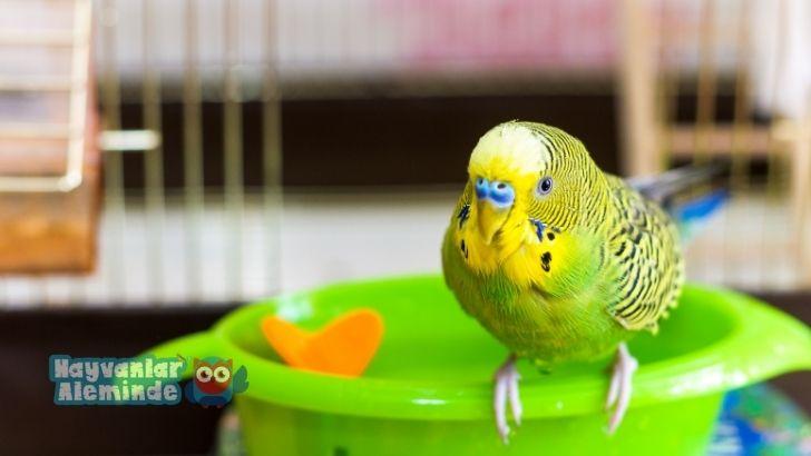 muhabbet kuşlarının kolay söylediği kelimeler