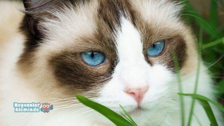 Ragdoll kedi