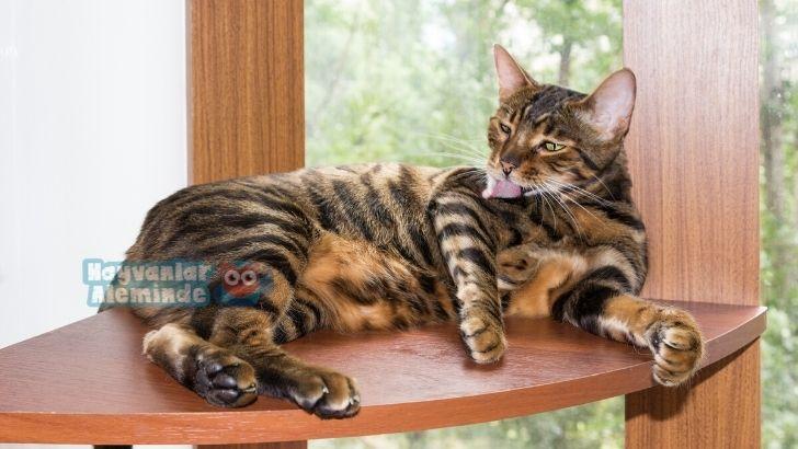 Toyger kedisi bakımı