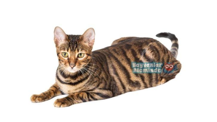 Toyger kedisi özellikleri