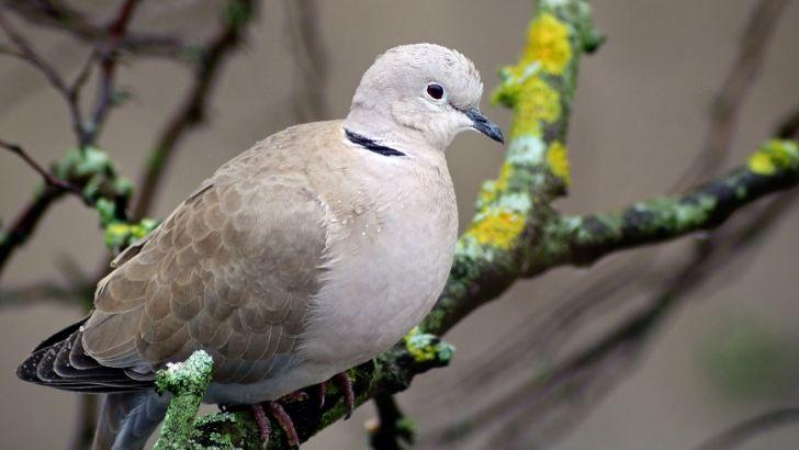 üveyik kuşu