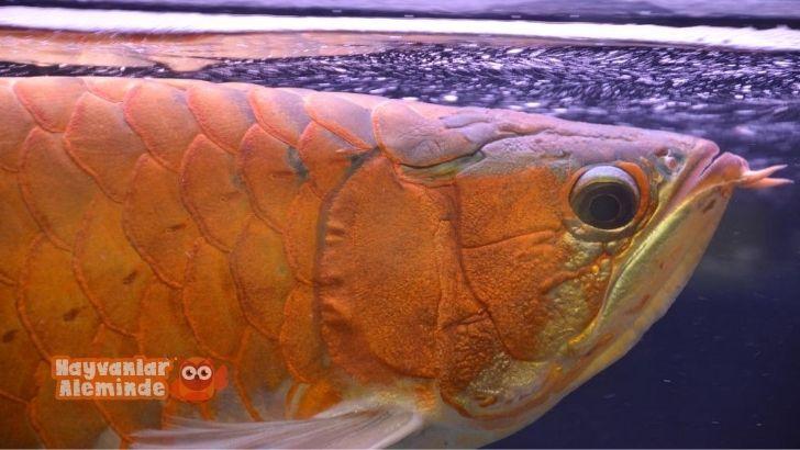 Asya Arowanası bakımı