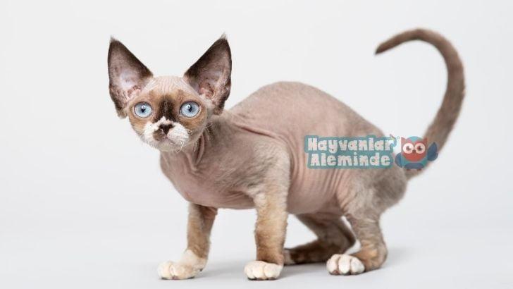 Devon Rex kedi