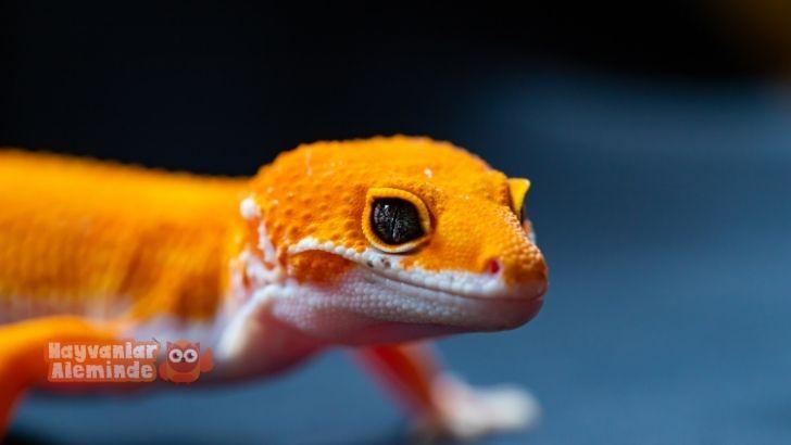 Leopard Gecko Bakımı