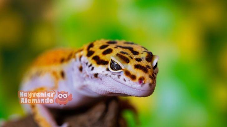 Leopard Gecko Beslenme