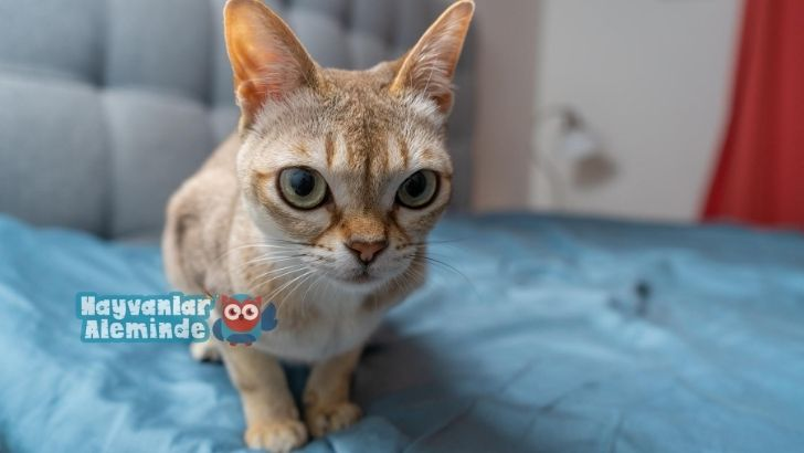 singapura kedi