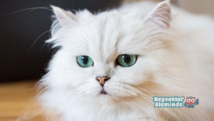fars kedisi bakımı