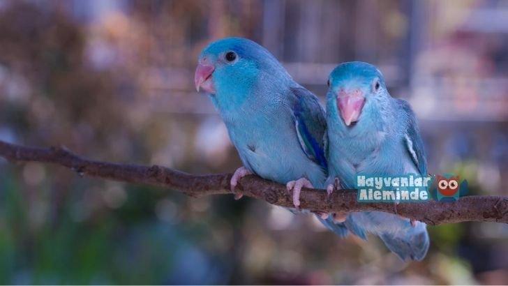 forpus papağanı renkleri