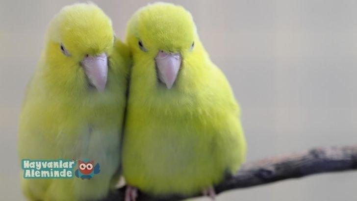 forpus papağanı