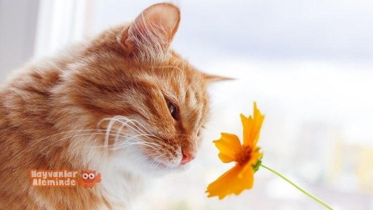 sarman kedi özellikleri