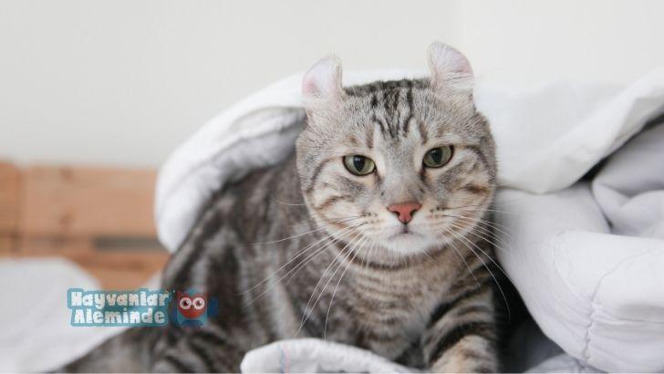 American Curl kedi