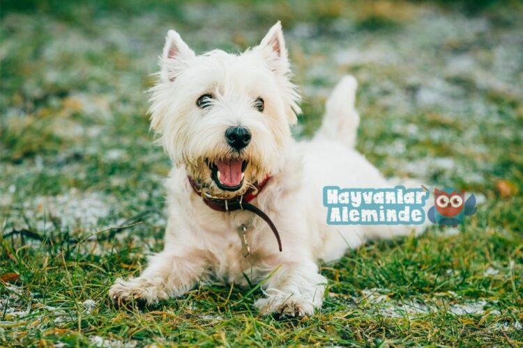Batı Highland Beyaz Terrier