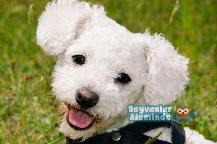Beyaz Bolognese köpek