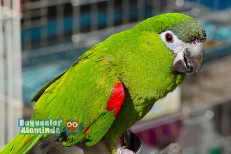 Cüce Macaw Papağanı