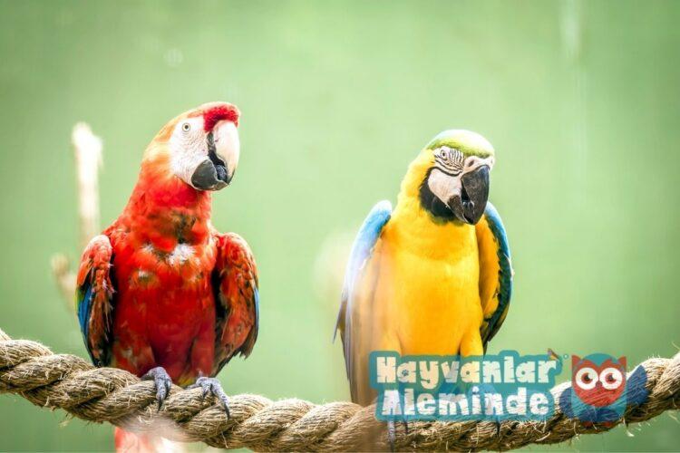 macaw papağanı bakımı