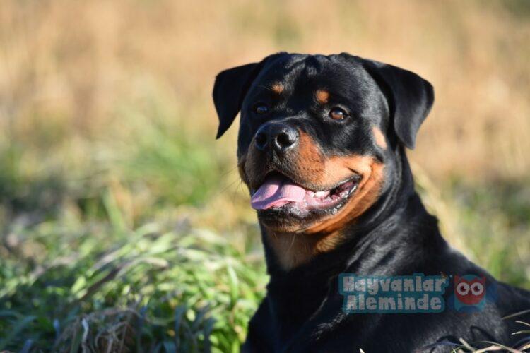 en iyi bekçi köpeği türleri