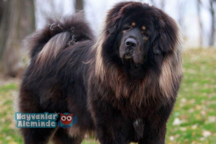 Tibet Mastiff ırkı