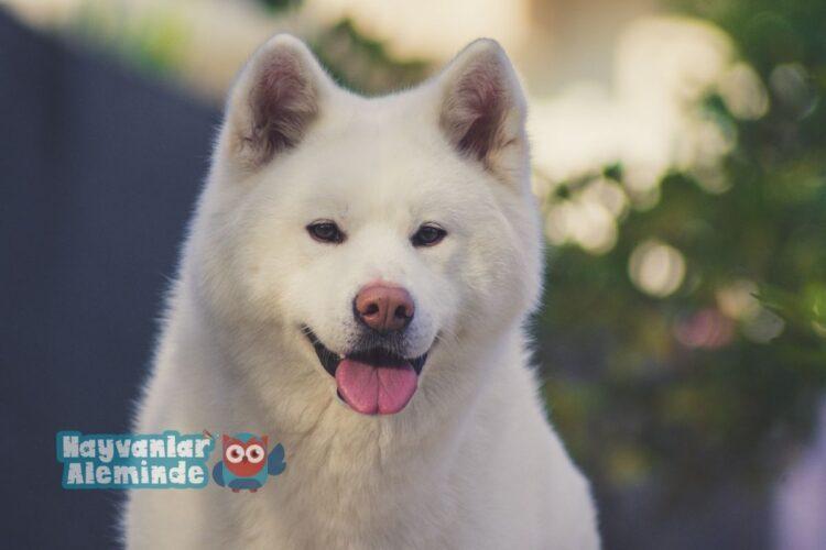 Akita ırkı bekçi köpeği