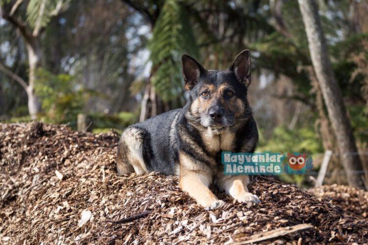 Alman bekçi köpeği